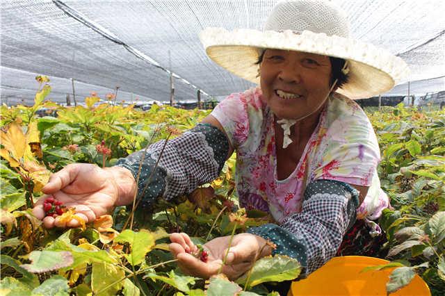 8粒种子试种,如今年产鲜参6000吨 9日起可来报社品鉴文登西洋参