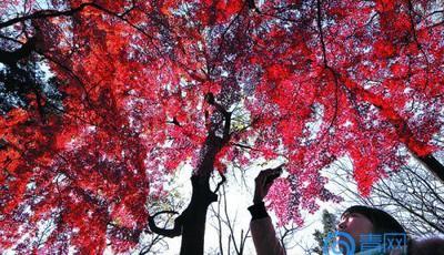 秋末冬初八大关迎最美的时刻!落叶遍地游人喜爱