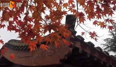 半岛V视丨红枫、银杏……这里是初冬的崂山太清,美得让您心醉