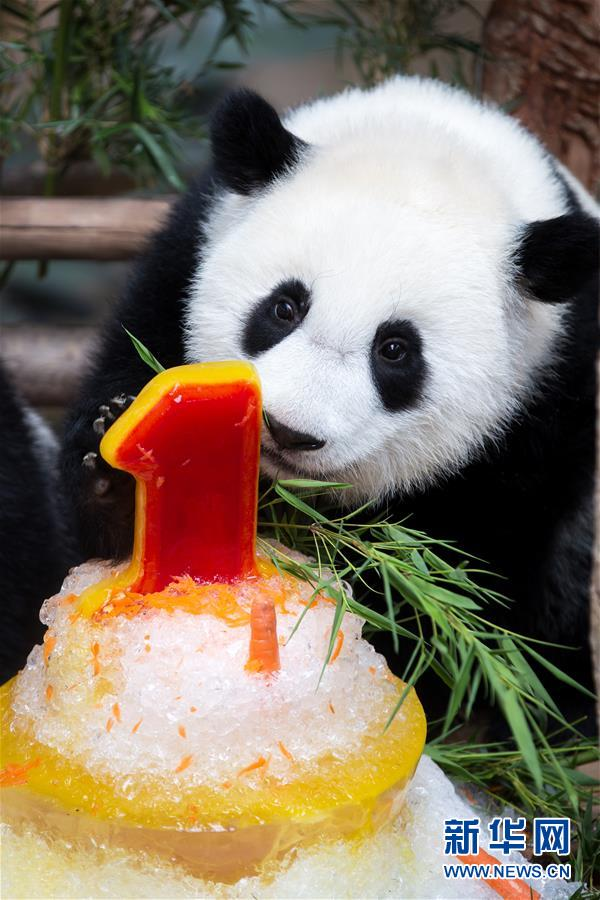 (国际)(1)马来西亚为在马出生的第二只大熊猫宝宝庆生