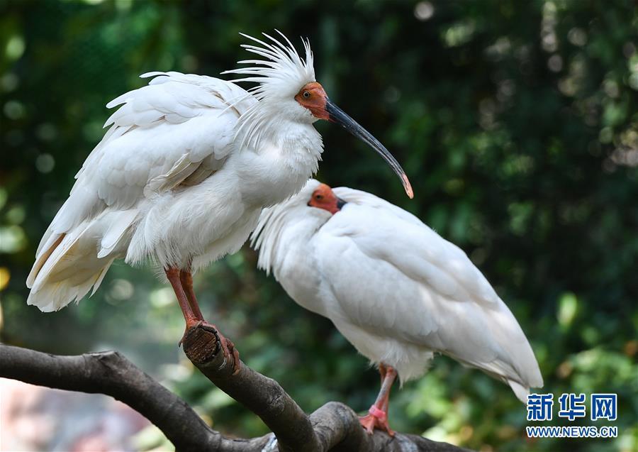 (环境)(1)广州7年成功繁育存活150只朱鹮