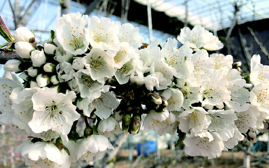 枝头争春!平度近2万亩大棚樱桃花开烂漫(图)