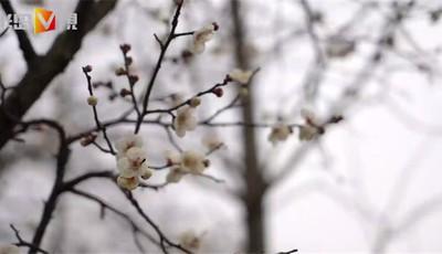 半岛V视 | 梅花初绽!跟随记者的镜头来看看中山公园的梅花园