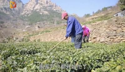 半岛V视 | 飞阅崂山雕龙嘴:茶农理春茶,阳春三月海边茶园美