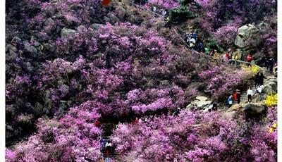 青岛珠山景区迎来杜鹃花最美时刻 清明小长假约上小伙伴看满山繁花