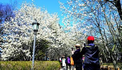 青岛中山公园玉兰花全部盛开 吸引大批游客拍照留念