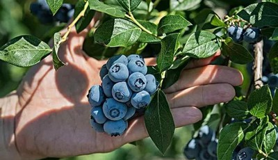 探青岛|崂山蓝莓采摘节门票免费送!蓝莓任意吃,享受采摘乐趣,周末约起 ↓ ↓ ↓