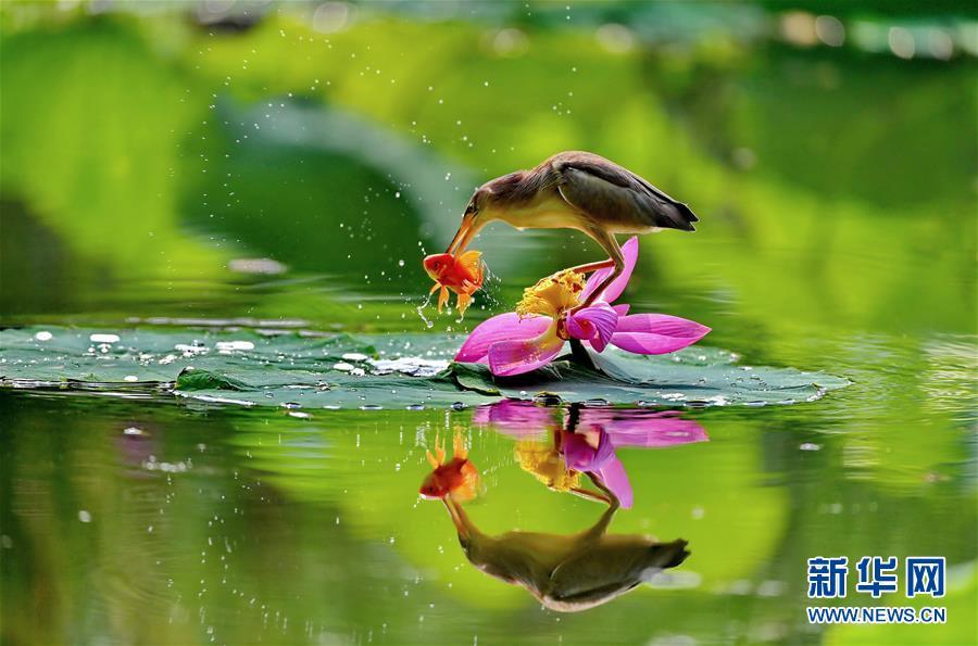 (环境)(1)河北唐山:水鸟戏荷