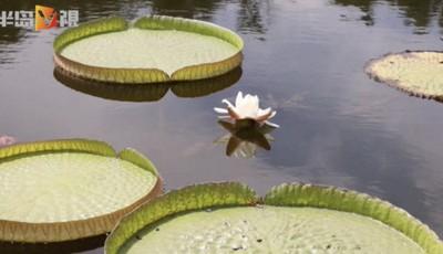 半岛V视|想看能载人的莲叶吗?莲中之王来青岛中山公园小西湖了 还开了花