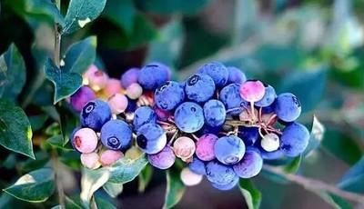 探青岛|就现在,樱桃免费吃!一票通用,还有蓝莓、杏、桑葚等着你!