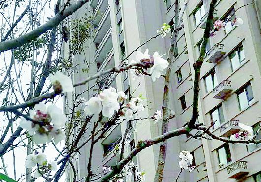 稀奇!青岛一小区内三棵杏树掉光叶枝上竟开花 专家:反季开花 不能结果