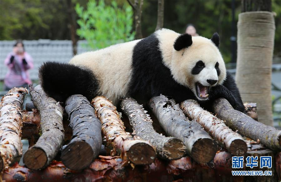 (社会)(1)甲勿海大熊猫保护研究园开园