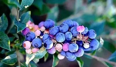 探青岛 蓝莓之约,与你有约!2019第九届崂山蓝莓采摘节盛大开幕啦!