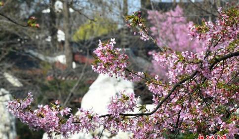 春天的气息 武汉东湖磨山樱园樱花开 青岛玉兰花也陆续绽放