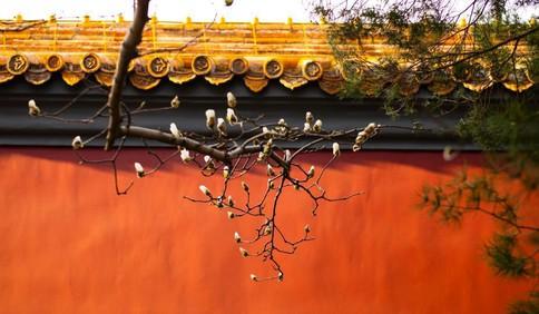 春分当日 北京市长安街边玉兰花绽放枝头