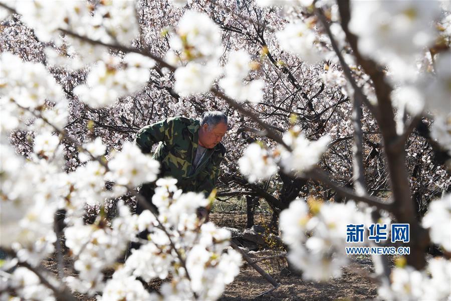 (经济)(2)青岛崂山:万亩果园花绽放