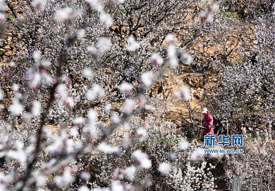 (经济)(1)青岛崂山:万亩果园花绽放