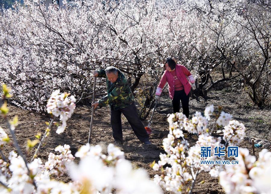 (经济)(3)青岛崂山:万亩果园花绽放