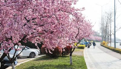 青岛香港东路:行人穿行在花海中感受春光无限