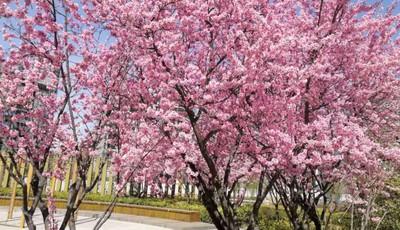 清明春色无限好 青岛李村河沿岸不少市民来踏青