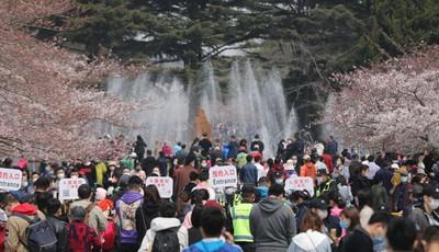 青岛中山公园樱花绽放 假期最后一天不少市民预约扫码入园