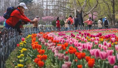 不只有樱花 青岛中山公园郁金香五彩绽放吸引游客