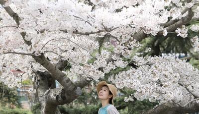 未来几天青岛气温有所下降还会降雨 赏樱要抓紧啦