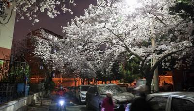 青岛三明南路:漫步路灯樱花之下 别有一番韵味