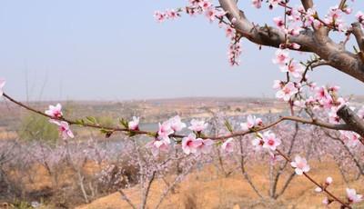 """莱西市南墅版""""十里桃花""""已盛开 花季持续到五月初"""