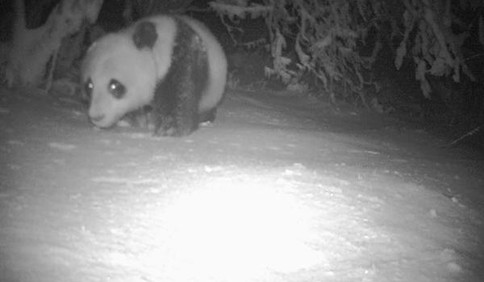 四川千佛山自然保护区时隔近四年之后再次发现大熊猫实体