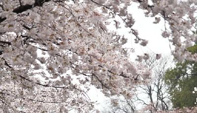 中山公园:雨后落樱缤纷 有种别样风景