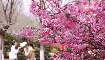 城阳区世纪公园:海棠花登场 美不胜收