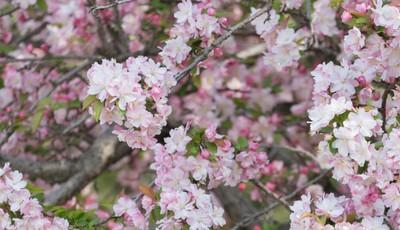 青岛中山公园:落花逐水春将尽 赏花可得抓紧了