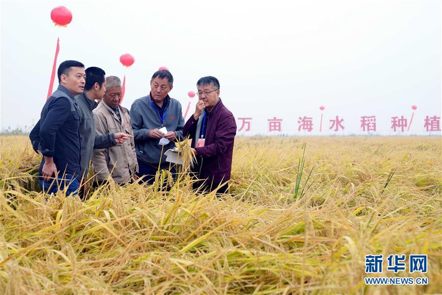 (经济)(2)山东潍坊:5万亩海水稻测产平均亩产破千斤