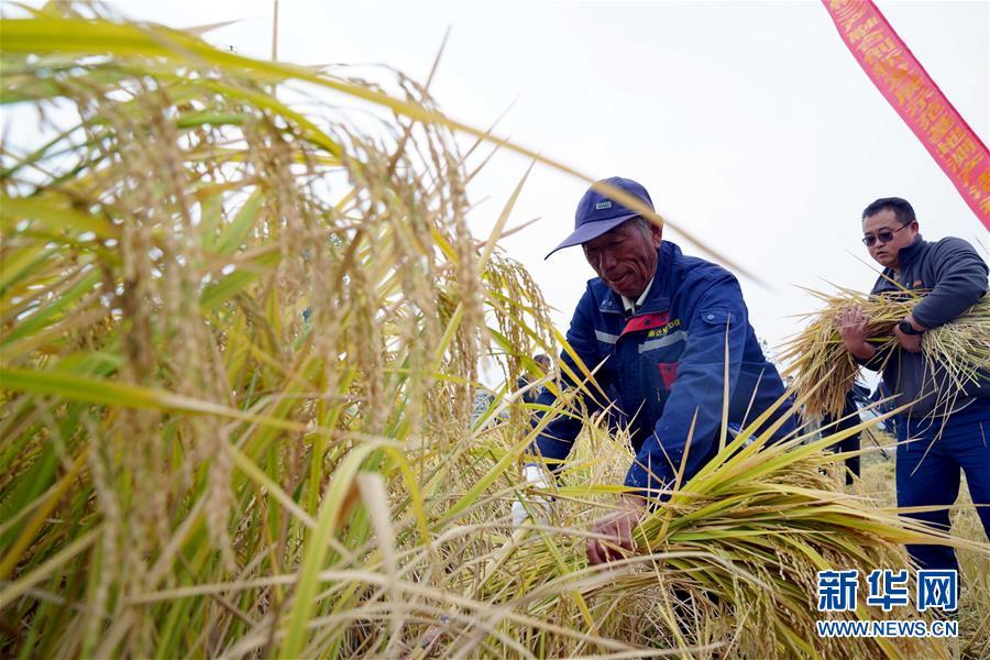 (经济)(3)山东潍坊:5万亩海水稻测产平均亩产破千斤