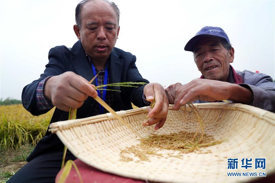 (经济)(4)山东潍坊:5万亩海水稻测产平均亩产破千斤