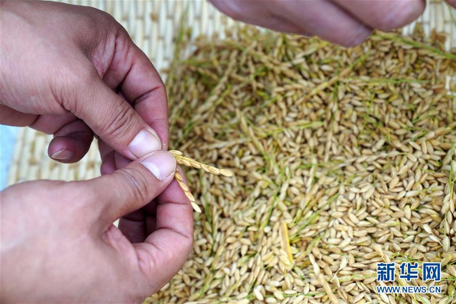 (经济)(5)山东潍坊:5万亩海水稻测产平均亩产破千斤