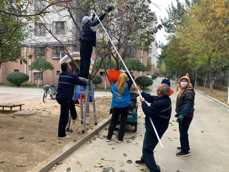 丰收啦!小寨子社区采摘2万余斤柿子给居民尝鲜 东巩寨子米大丰收