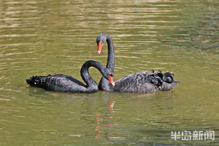 """青岛市动物园内几十只天鹅嬉戏 几对天鹅""""情侣""""秀恩爱"""