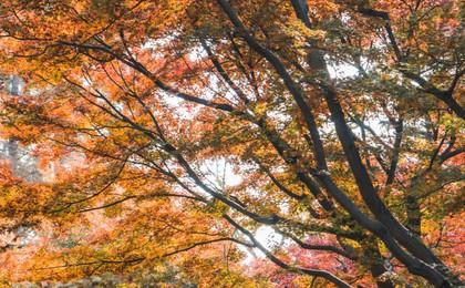 青岛中山公园枫林涧 霜叶红于二月花