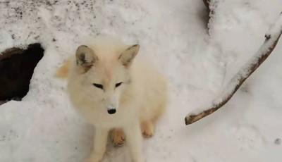 青岛森林野生动物园:雪中嬉戏 呆萌可爱