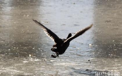 城阳区白沙河:水鸟冰河舞芭蕾