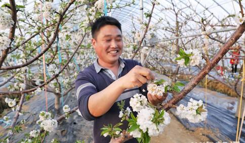 新春走基层|青岛平度:棚中樱桃花盛开 果农年中忙传粉