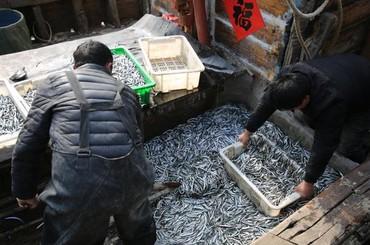 """青岛:抢""""鲜""""!面条鱼喜获丰收"""