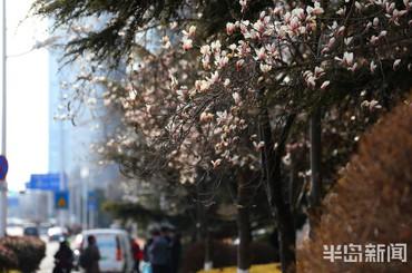 春日无限 玉兰花中