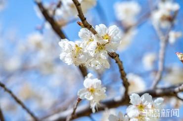 城阳:芳菲秀美棉花村 樱桃花开春意浓