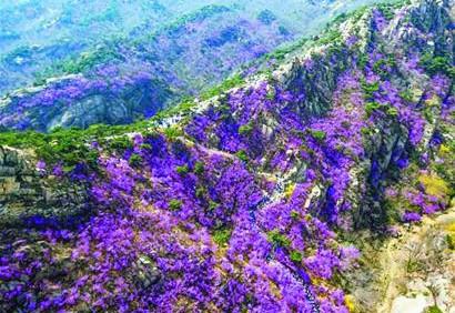 人间四月天 繁花似锦时!青岛清明赏花攻略来了