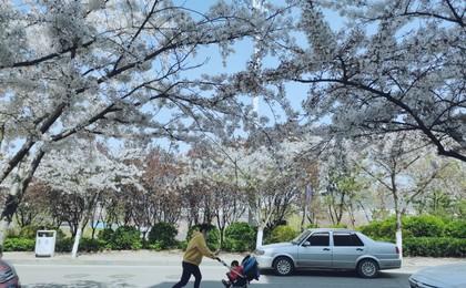 何必挤中山公园?李沧也有条樱花小路!