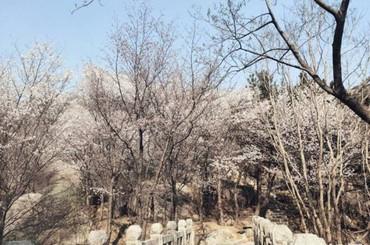 崂山巨峰山樱花盛开 朵朵芬芳浪漫来袭