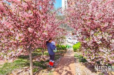 青岛合肥路:海棠成林 美了春天
